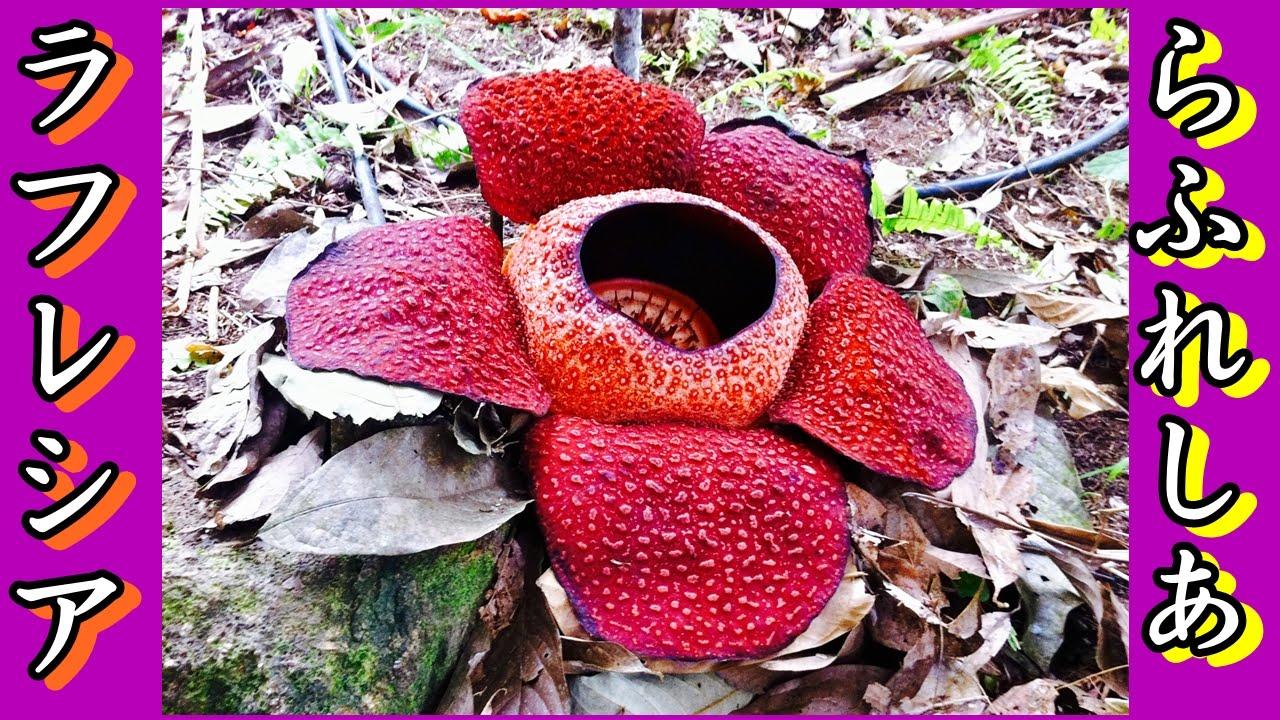 【神秘の花】世界最大の花ラフレシアを探せ!マレーシアボルネオ島【ボルネオ島】 - YouTube