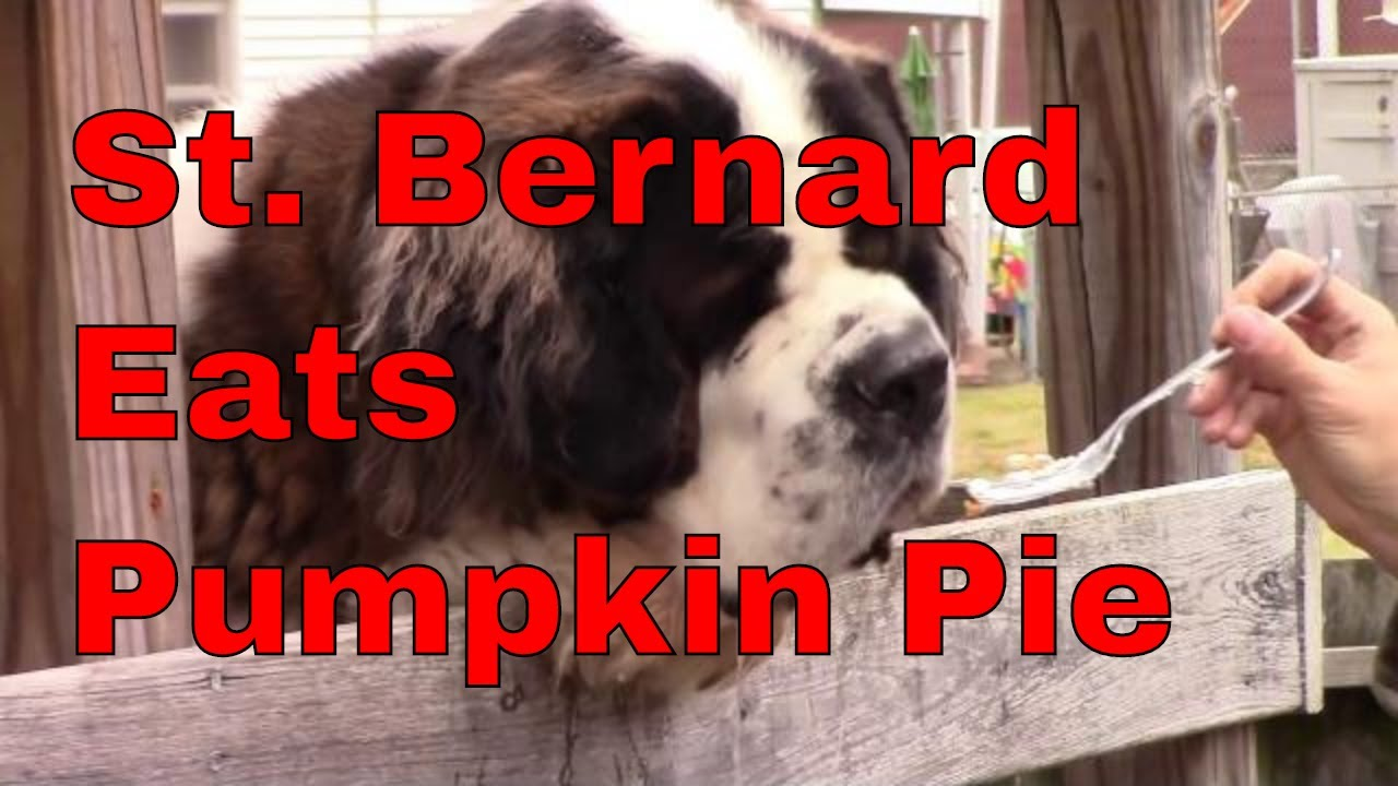 Saint Bernard Dog Eating Pumpkin Pie ...