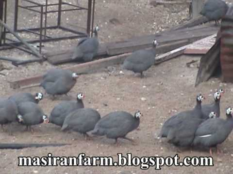 Ayam Mutiara @ Ayam Api-api