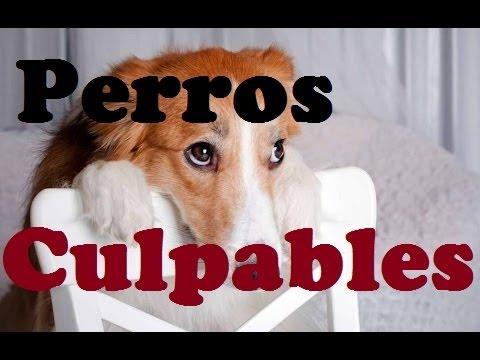 Recopilación Perros culpables 2015. Videos de Risa de perros divertidos