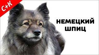 Немецкий шпиц (кеесхонд) - породы собак.