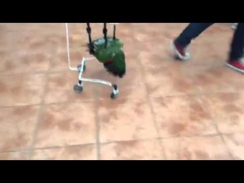 Loro discapacitado en silla de ruedas for Silla de auto 6 anos