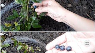 Chia sẻ cách trồng cây Việt Quất || cách trồng cây Việt Quất