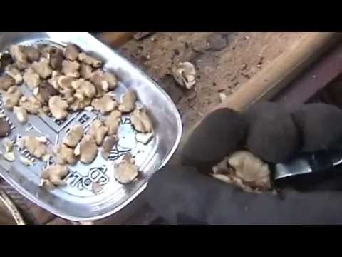 How To Shell Black Walnuts