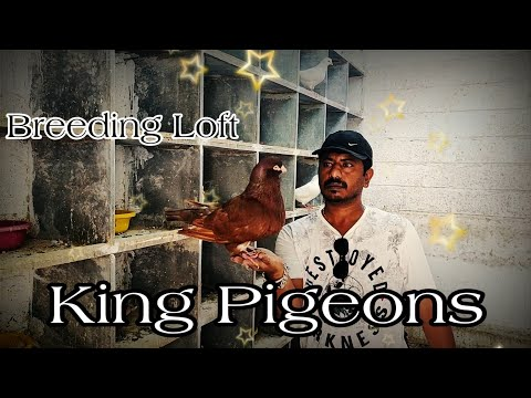 King Pigeons Breeding Loft
