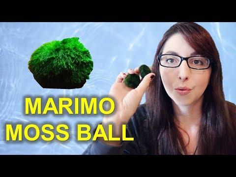 Marimo Moss Ball Beginner Care Guide   I Got Marimo Moss Balls From Ali Express