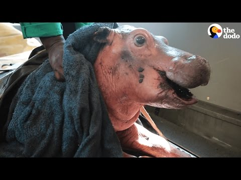 Baby Hippo Saved From Mud Pit Growing Up Big And Strong | The Dodo