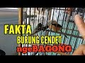 Ini Dia Fakta Burung Cendet Ngebagong  Mp3 - Mp4 Download