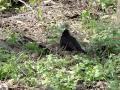Common Blackbird Чёрный дрозд Turdus Merula самец певчие птицы России mp3