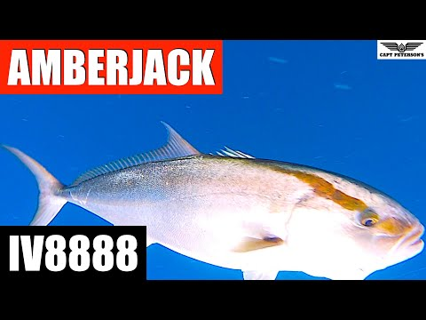 Amberjack Deep Sea Fishing St George Island, FL W/ IV8888 - Apalachicola, Cape San Blas, Port St Joe