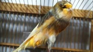 Terapi Untuk Burung Kenari Macet Bunyi - Masteran Kenari