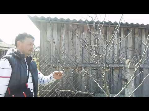 "Обрезка груши ""Талгарская красавица"""