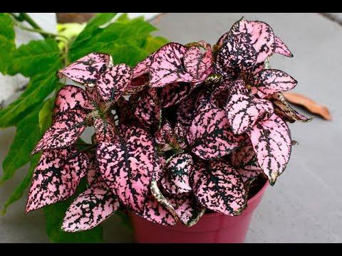 ГИПОЭСТЕС – неприхотливое светолюбивое растение | Уход и разведение в домашних условиях