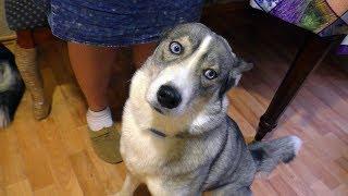 Секрет самой умной собаки