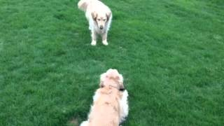 Golden Retriever Sisters Lilah And Lucy Romp In The Yard Wi
