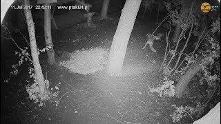 Dwa lisy w karmisku w lesie na Podkarpaciu