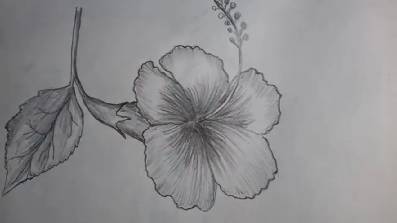 How To Draw A Hibiscus Flower With Pencil Shading Youtube