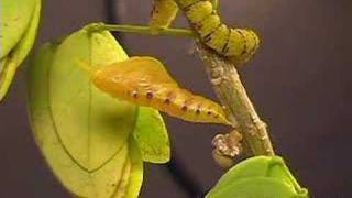 Time Lapse - Phoebis sennae Butterfly Pupates-Emerges (Metamorphosis) V00086a