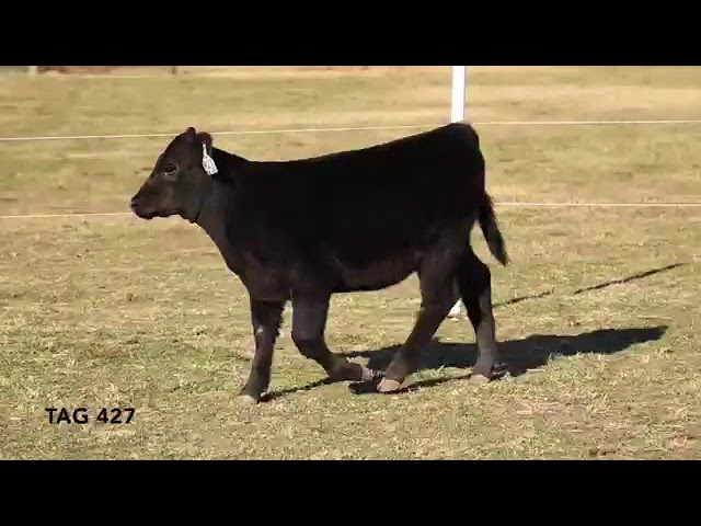 Missouri Angus Futurity Lot 7