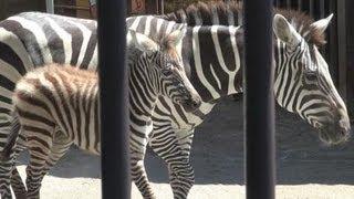 人の手で育てられたシマウマが、3度目の赤ちゃんを生んだ。徳山動物園...