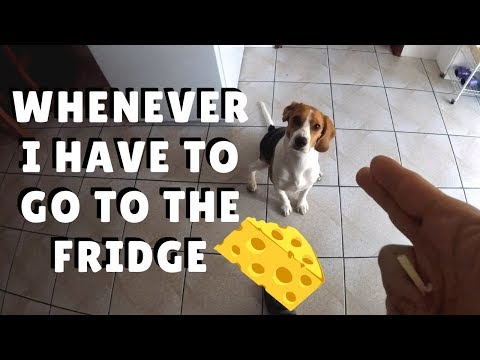 Whenever I have to go to the fridge  PipastheBeagle