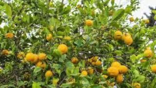 Ya Shajarit Il Laymoon - Merdad يا شجرة الليمون مرداد