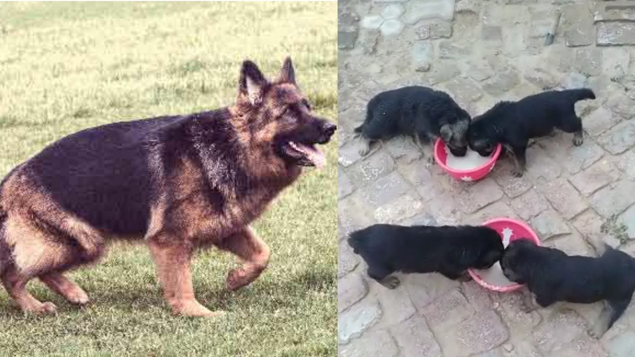 High Quality German Shepherd puppies available for sale in low price|german shepherd dog for sale|