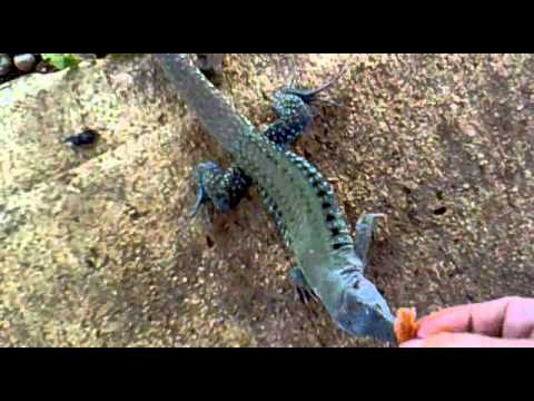 Puerto Rican Iguana Mini Eating From Handmp4 YouTube