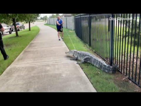 Houston: Gator Found Roaming in Fulshear Neighborhood