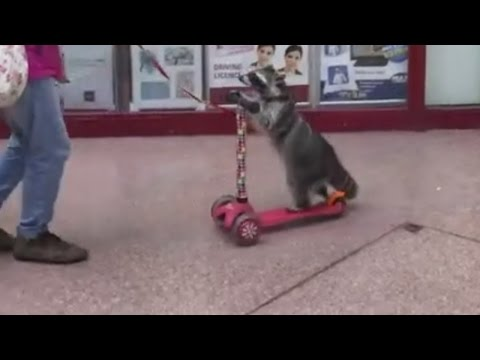 Raccoon on a scooter