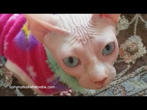 Sphynx cat showing off!