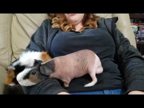 NEW Friend For HAIRY The SKINNY PIG ALMOST HAIRLESS GUINEA PIG