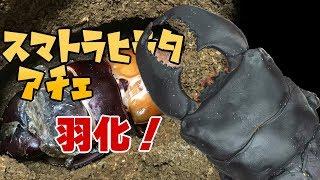 【顎幅14mm!】スマトラヒラタクワガタアチェの羽化① Dorcus titanus yasuokai 【Part3:羽化編】