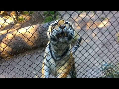 Jonny Hartwell - STUPID: Man Jumps Fence of Tiger Enclosure; Zoo Responds