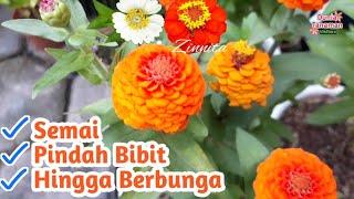 FULL Cara Menanam Bunga Zinnia Zinnita dari Biji Benih - How to Grow Zinnia Flower From Seed