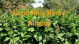 Good King Henry - Avoid the BIG mistake!