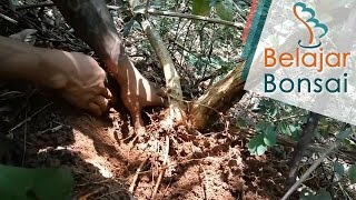 Video Bonsai Hunting - Collecting Cockspur Thorn (Maclura cochinchinensis) For Bonsai download MP3, 3GP, MP4, WEBM, AVI, FLV Juni 2018