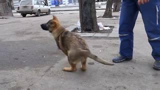 Щенки Немецкой овчарки. Рабочее разведение. Puppies of the German Shepherd.