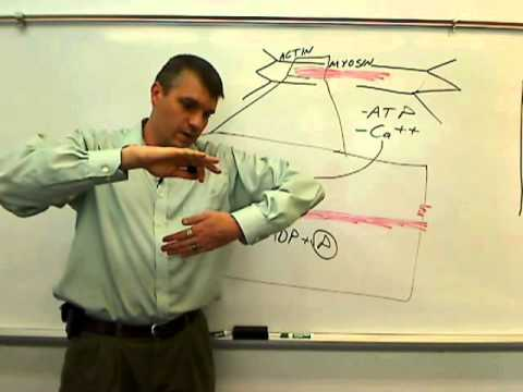 Sliding Filament Theory.wmv