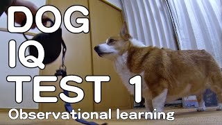 The Canine Iq Test 1 Observational Learning 犬のiqテスト1 観察学習能力 Goro@welsh Corgi コーギー Dog K9