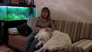 Наша надёжная охрана - горная пиренейская собака Жозефина