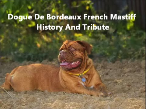 Dogue De Bordeaux French Mastiff History And Tribute