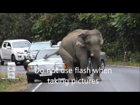 elephants on the road in khao yai national park