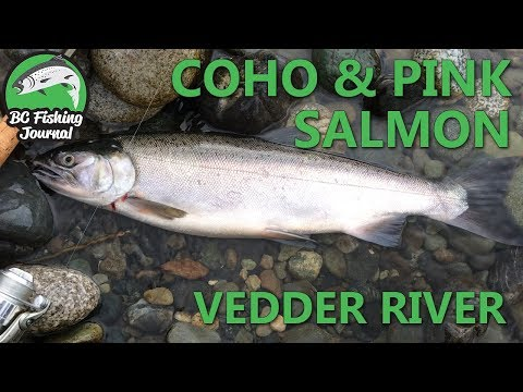 Vedder River Coho & Pink Salmon - Mid September 2017