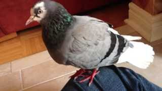 Roller Pigeon I rescued two weeks ago.  Tame and curious.