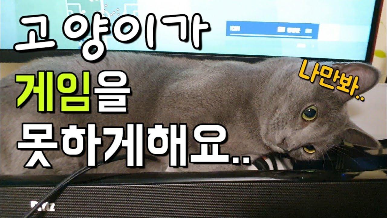 [러시안블루와 아메리칸숏헤어] 고양이가 게임을 못하게 해요..심장폭행 가해자..
