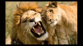 Lion (Pow Wow-Le lion est mort ce soir) VAC