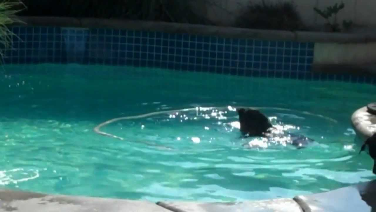 pitbull and rottweiler swimming together in the pool youtube