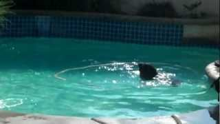 Pitbull And Rottweiler Swimming Together In The Pool