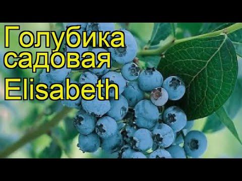 Голубика садовая Элизабет. Краткий обзор, описание характеристик vaccinium corymbosum Elisabeth